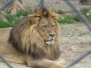 Szomorkodik az oroszlán, mert azt hiszi, nincs erős hangja
